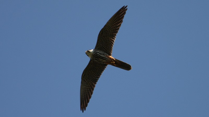 Falco subbuteo 4
