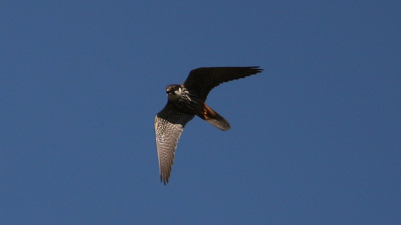 Falco subbuteo 1