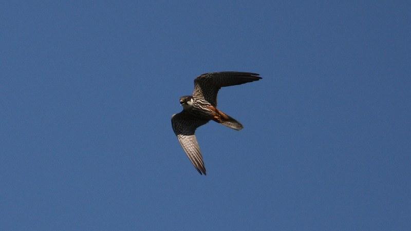 Falco subbuteo 5