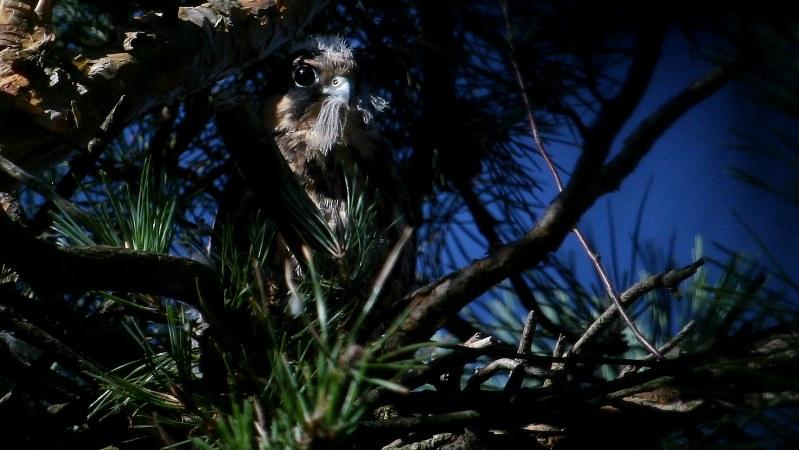 Falco subbuteo 15