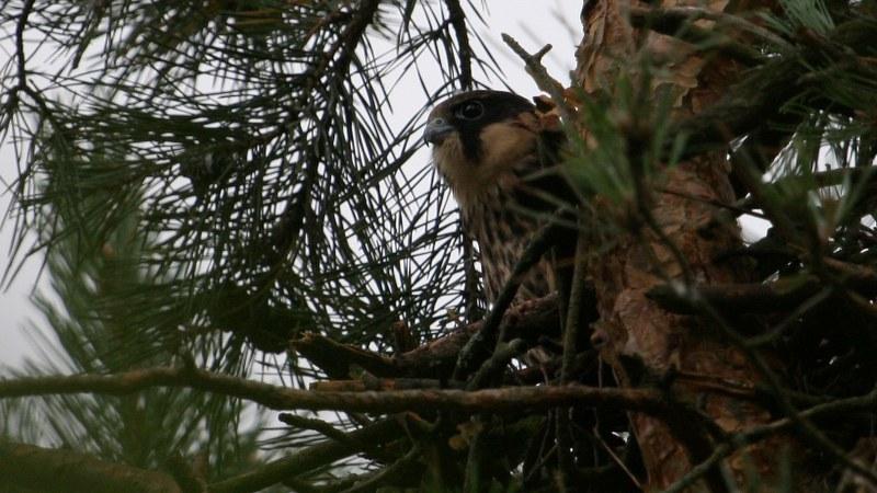 Falco subbuteo 19