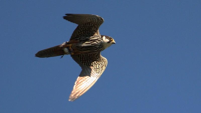 Falco subbuteo 6