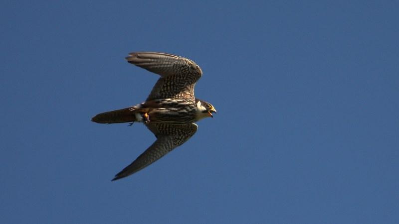 Falco subbuteo 7