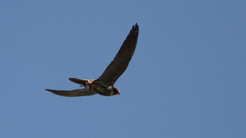 Falco subbuteo 8