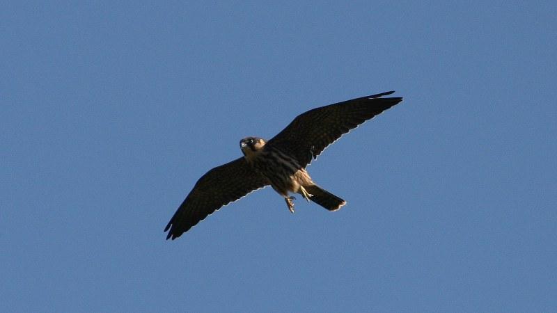 Falco subbuteo 9