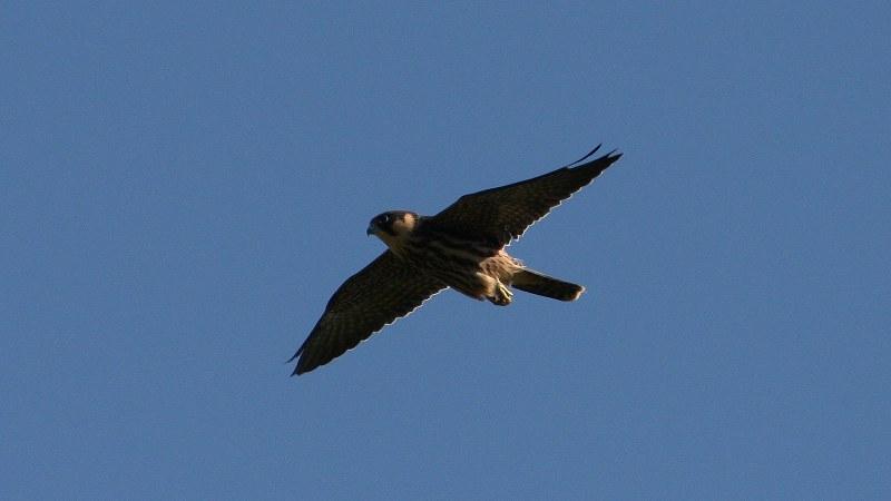 Falco subbuteo 10