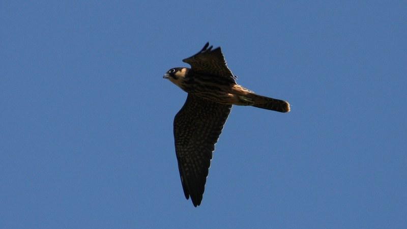 Falco subbuteo 11