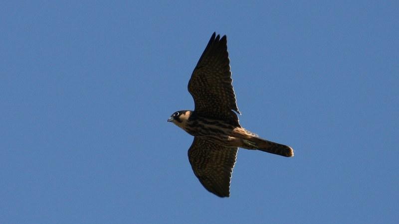 Falco subbuteo 12