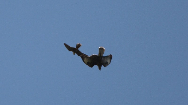 Falco subbuteo 13