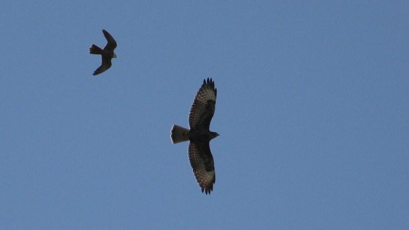 Falco subbuteo 14