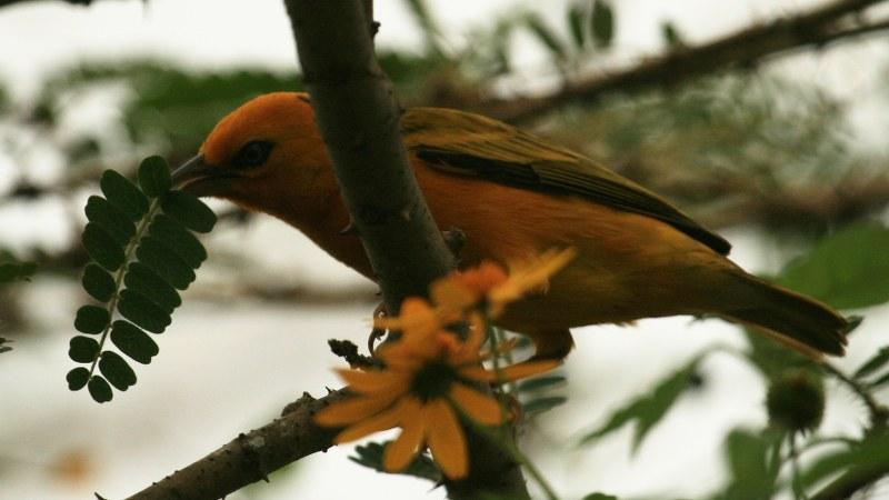 Ploceus aurantius 6