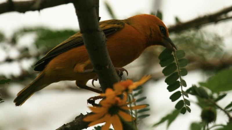 Ploceus aurantius 5