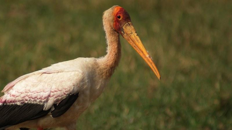 Mycteria ibis 1
