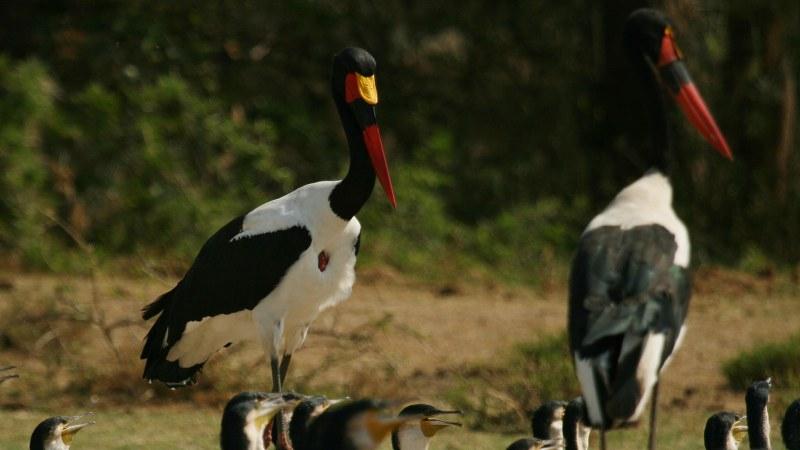 Ephippiorhynchus senegalensis 15