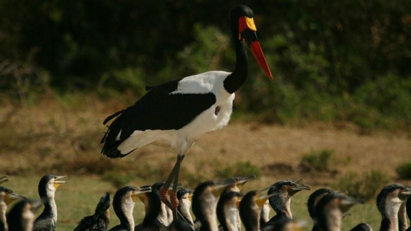 Ephippiorhynchus senegalensis 16