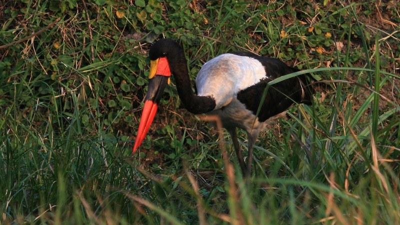 Ephippiorhynchus senegalensis 18