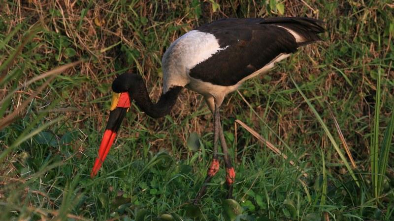 Ephippiorhynchus senegalensis 22