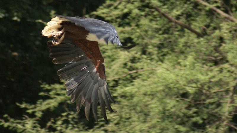 Haliaeetus vocifer18