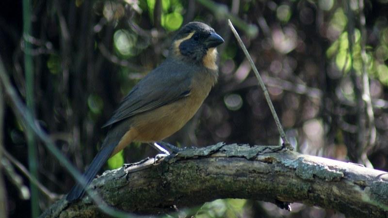 Saltator aurantiirostris1