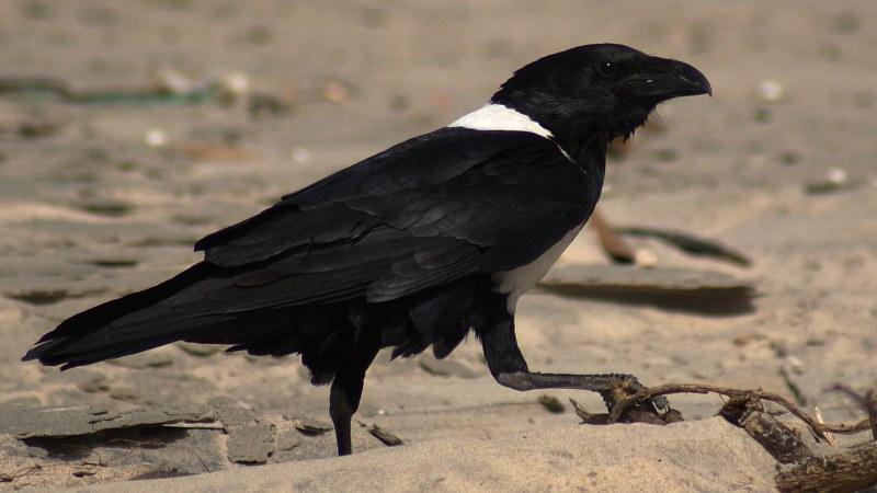 Corvus albus1