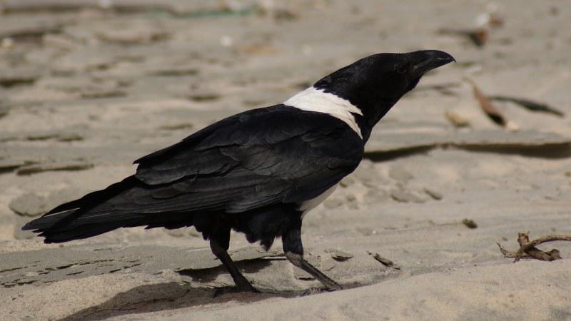Corvus albus2