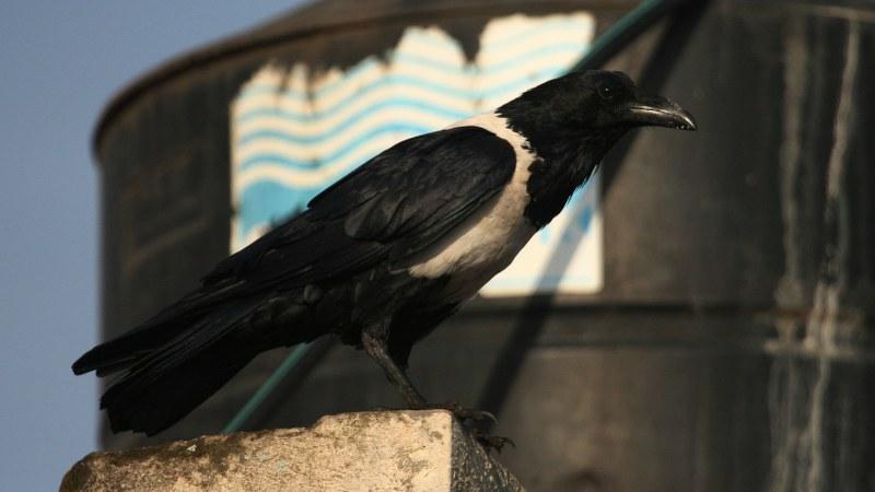 Corvus albus22