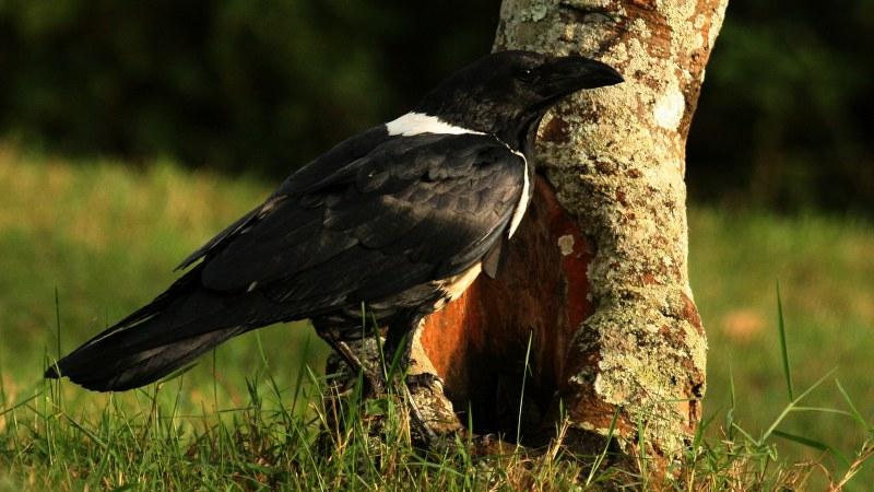 Corvus albus23
