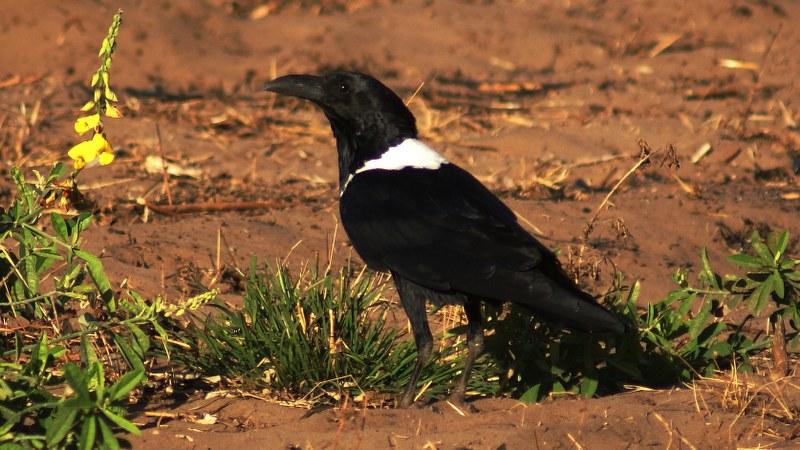 Corvus albus24