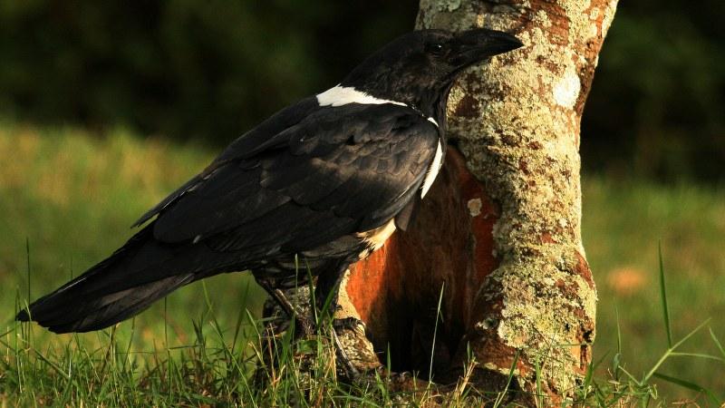 Corvus albus25