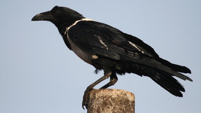 Corvus albus3
