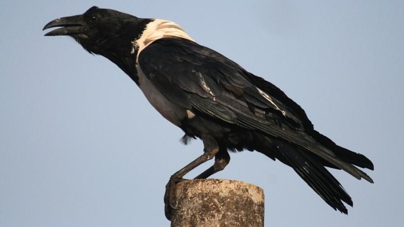 Corvus albus4
