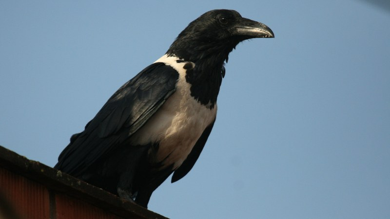Corvus albus5