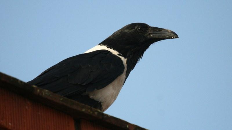 Corvus albus6