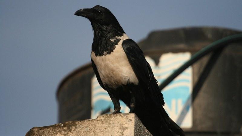 Corvus albus7