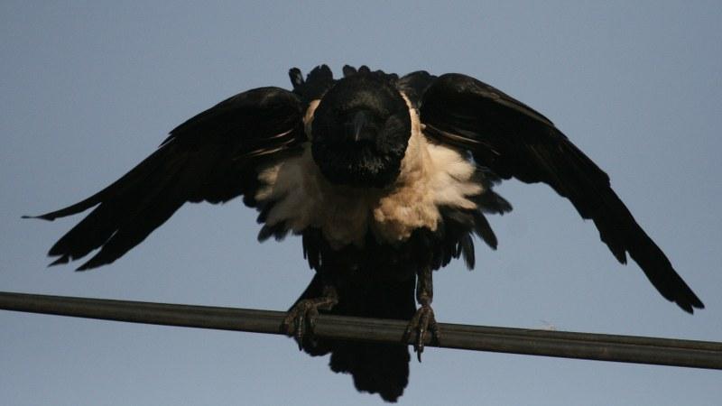 Corvus albus8