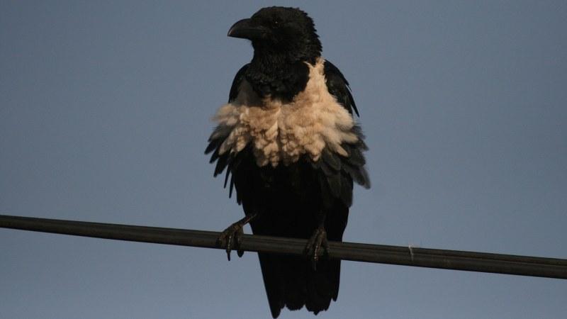 Corvus albus9