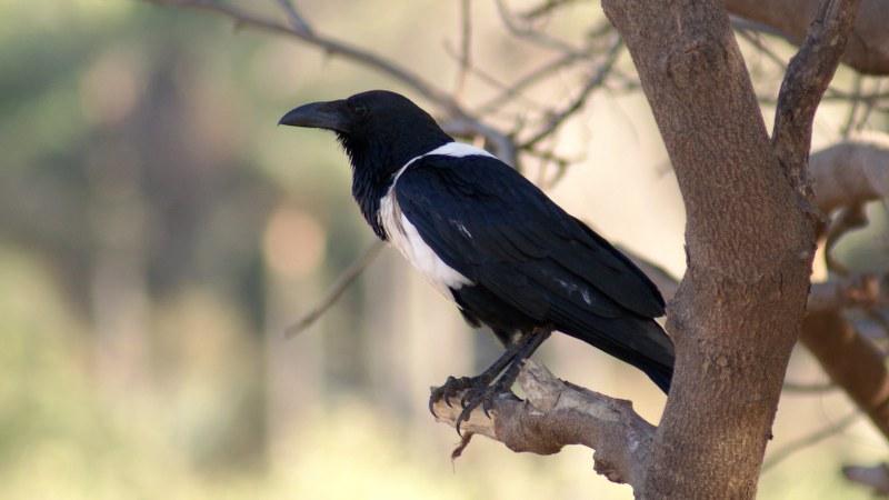 Corvus albus10