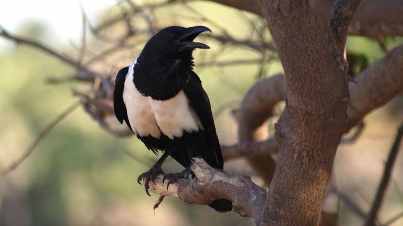 Corvus albus11