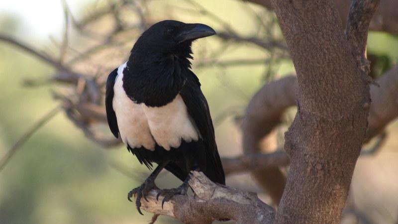 Corvus albus12