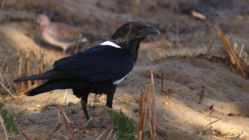 Corvus albus13