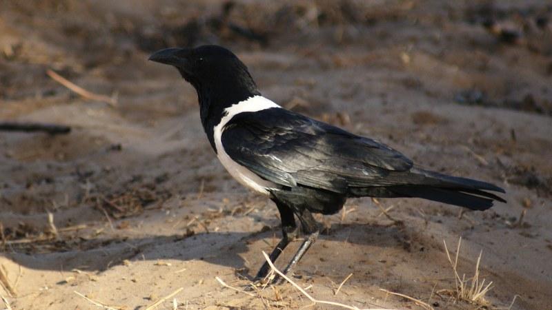 Corvus albus14
