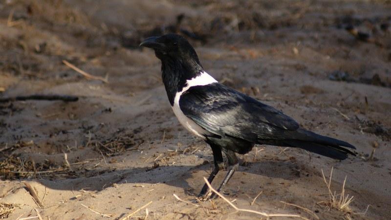 Corvus albus15