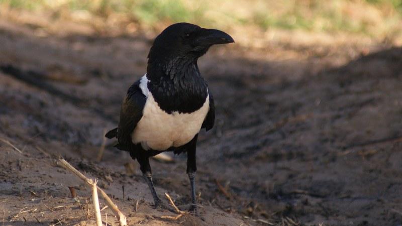 Corvus albus17