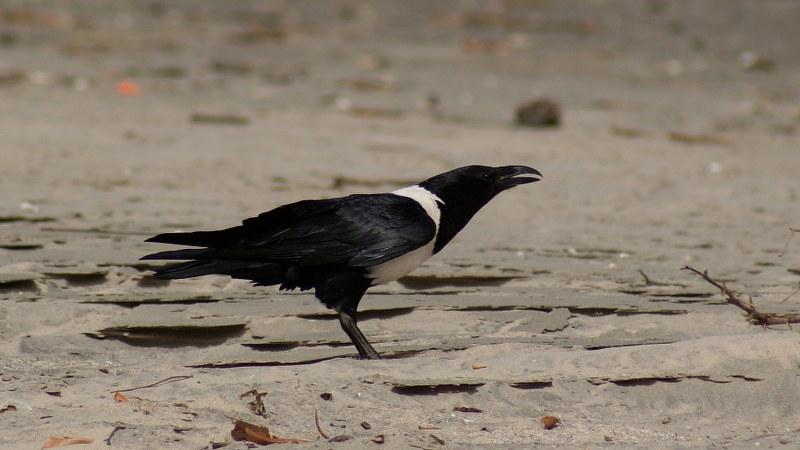 Corvus albus18