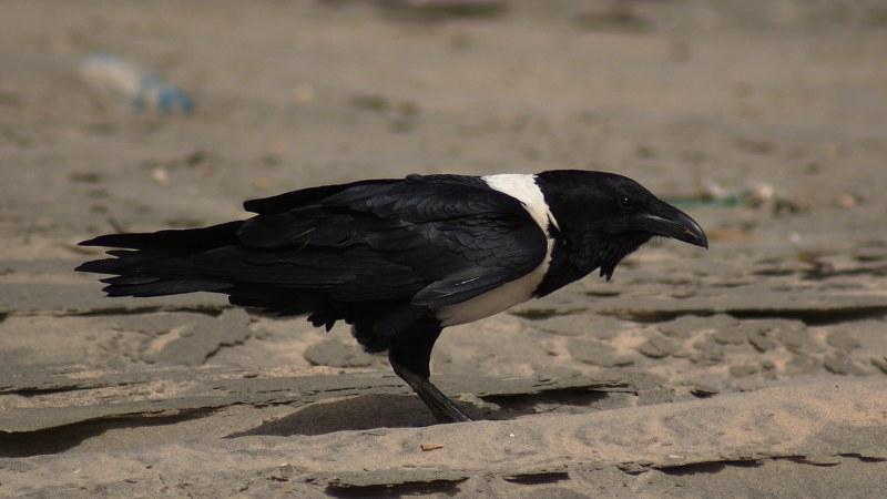 Corvus albus19