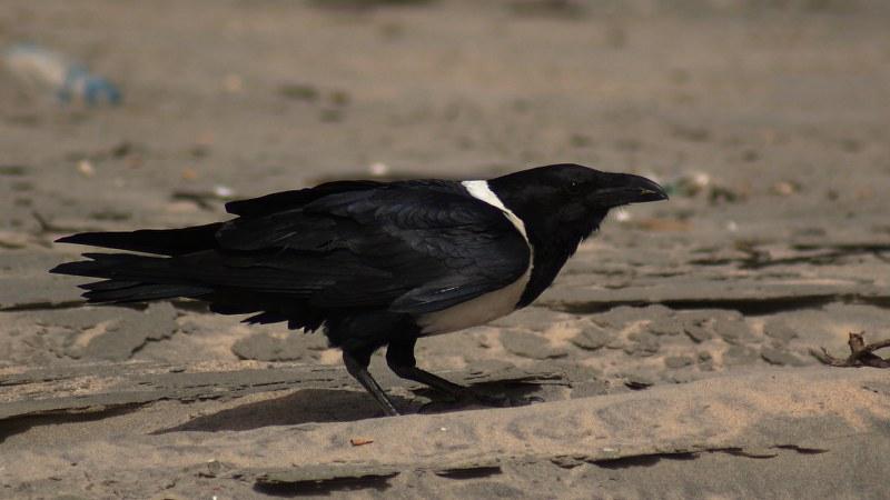 Corvus albus20