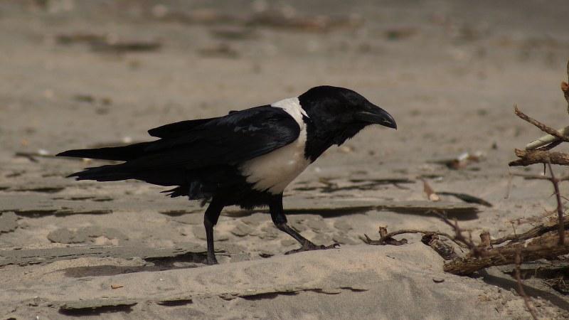 Corvus albus21