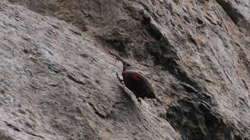 Tichodroma muraria21