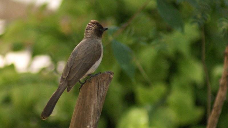 Pycnonotus_barbatus_01