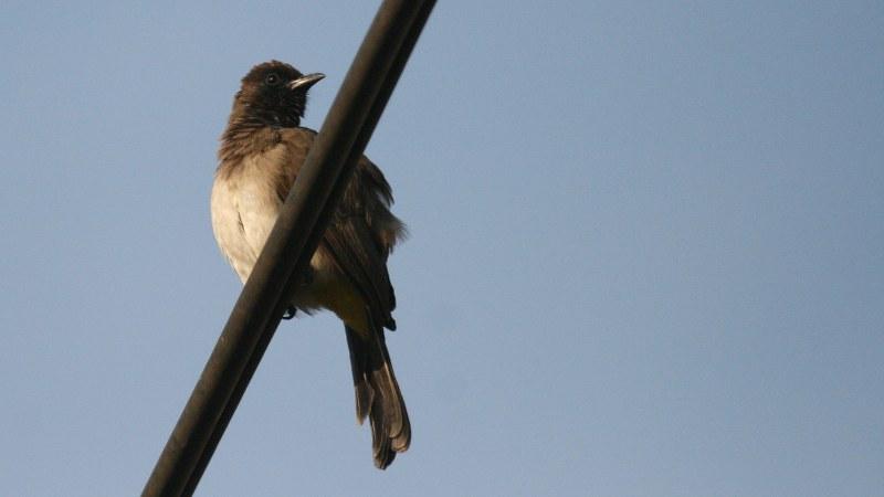 Pycnonotus_tricolor_14